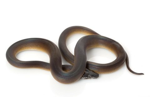D'alberts Python for Sale | Reptiles for Sale