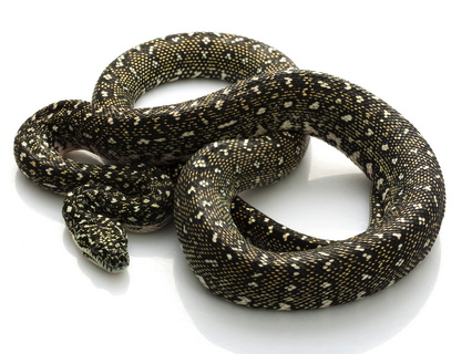 Diamond Python for sale - Morelia spilota