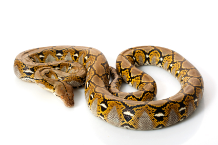 Reticulated Python for sale