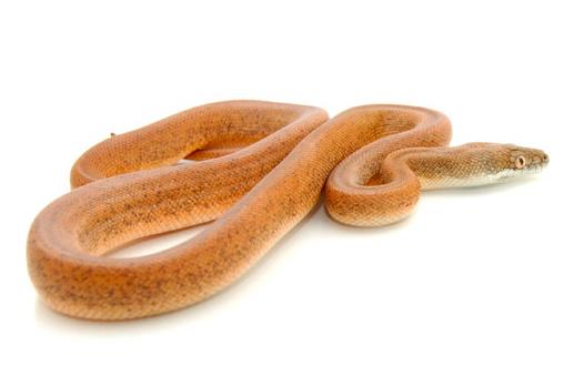 Savu Python for sale