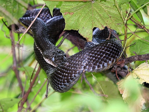 Black Rat snake for sale