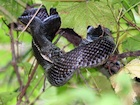 Buy a Black Rat snake
