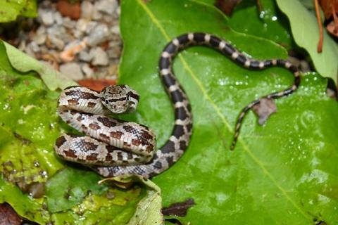 Gray Rat snake for sale