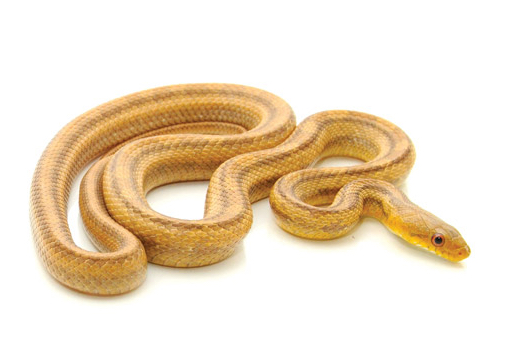 Yellow Rat snake for sale