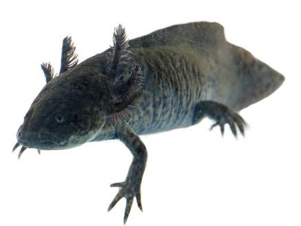 Buy an axolotl