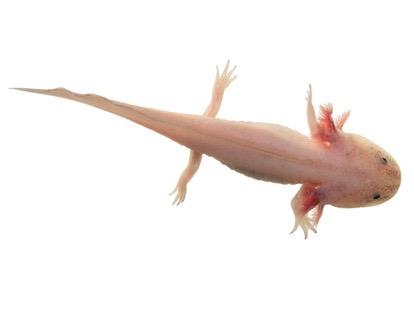 Buy a Leucistic axolotl