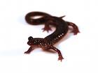 Buy a Slimy Salamander