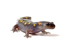 Buy a Spotted Salamander