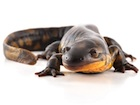 Buy a Tiger Salamander