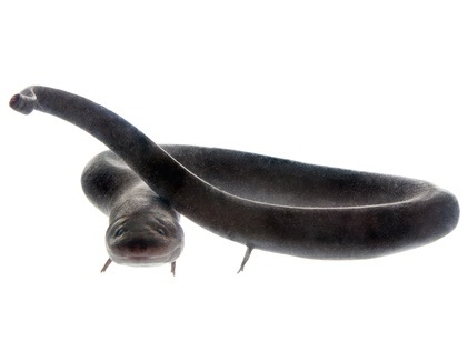Buy a Two-toed Amphiuma means