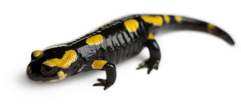 Fire Salamander for sale
