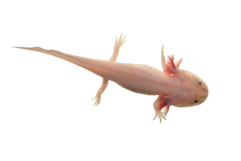 Leucistic Axolotl for sale - Ambystoma mexicanum