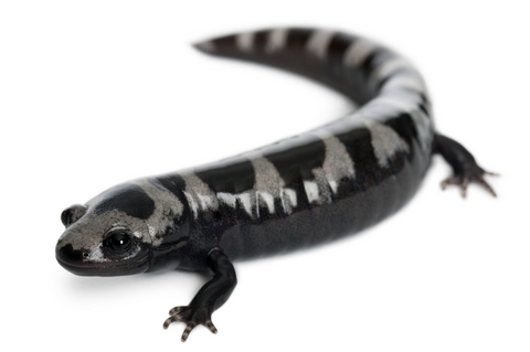 Marbled Salamander for sale
