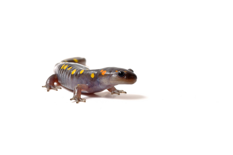 Spotted Salamander for sale - Ambystoma maculatum