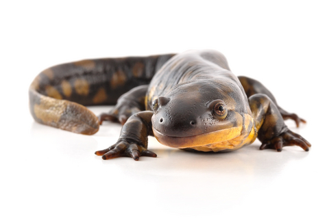 Tiger Salamander for sale