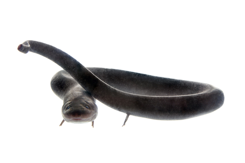 Two-toed Amphiuma means for sale