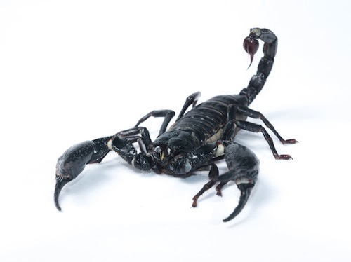 Forest Scorpion for sale