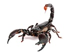 Buy an Emporer Scorpion