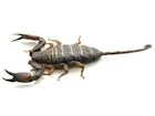Buy a Flat Rock Scorpion