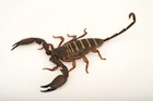 Buy an Olive Keeled Flat Rock Scorpion