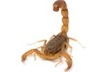 Buy a Three Striped Scorpion