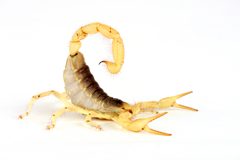 Desert Hairy Scorpion for sale