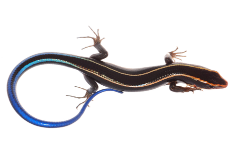 Blue Tail skink for sale