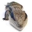 Buy a Blue tongue skink