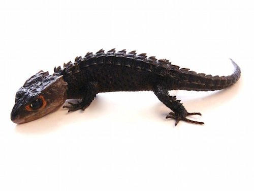 Red Eyed Crocodile Skink for Sale | Reptiles for Sale