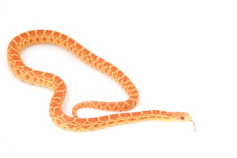 Albino Bull snake for sale - Pituophis catenifer sayi