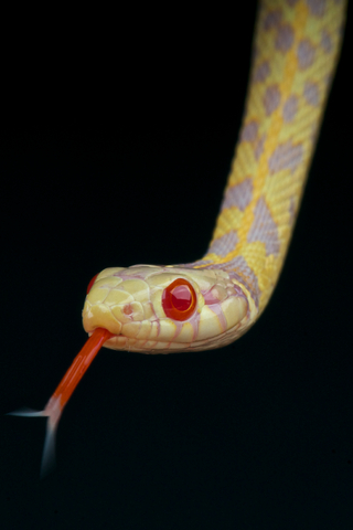 Albino Garter snake for sale