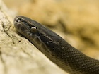 Buy an African house snake