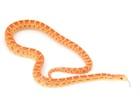 Buy an Albino Bull snake - Pituophis catenifer sayi