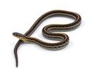 Buy a Garter snake