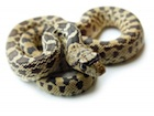Buy a Gopher snake