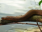 Buy a Red bellied water snake
