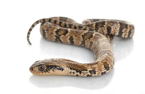 False Water Cobra for sale - Pseudoxenodon macrops