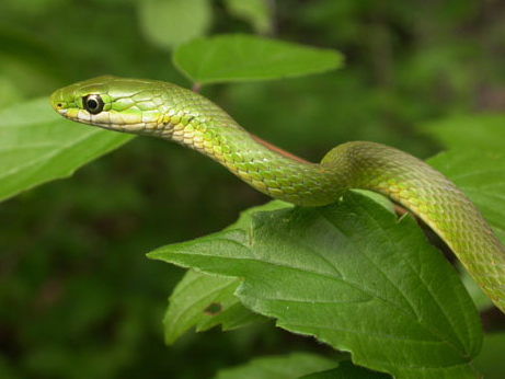 Florida Green Snake for Sale | Reptiles for Sale