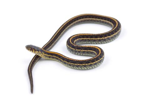 Garter snake for sale