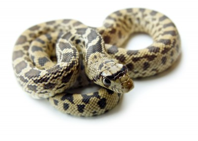 Gopher snake for sale