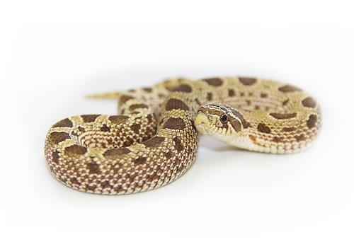 Hognose Snake for Sale | Reptiles for Sale