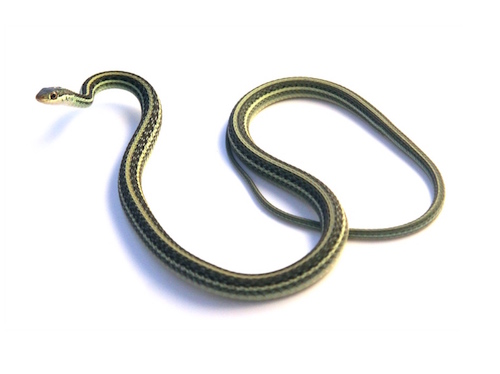 Ribbon snake for sale