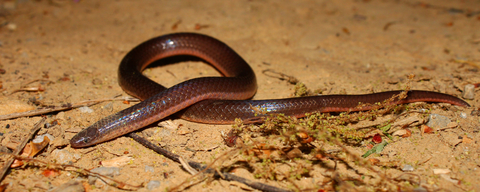 Worm snake for sale - Carphophis amoenus