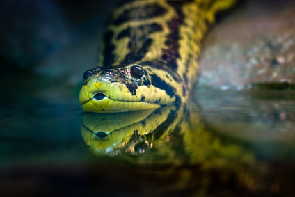 Yellow Anaconda for sale