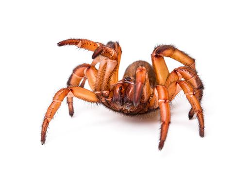 Trap door spider for sale