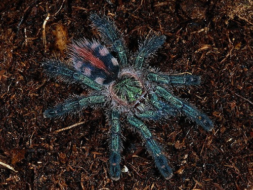 Amazon Sapphire tarantula for sale
