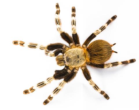Brazilian red and white tarantula for sale