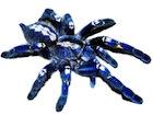 Buy a Gooty Sapphire Ornamental tarantula