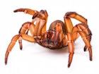 Buy a Trapdoor spider