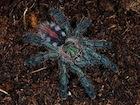 Buy an Amazon Sapphire tarantula